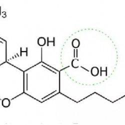 קנאביס - חומרים פעילים בצמח הקנאביס | החומרים הפעילים בצמח הקנאביס