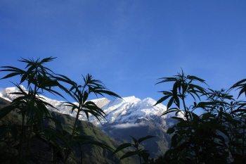 קנאביס - קנאביס רפואי צמח הקנאביס ושימושיו השונים בתעשייה וכאנרגיה