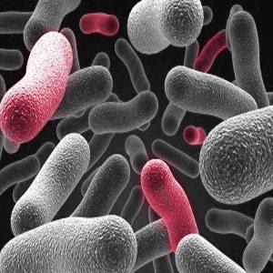 טי אייץ סי ובקטריות - THC ובקטריות - שמרים אשר מסוגלים לייצר את המרכיב