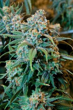 כל מה שרציתם לדעת על THC