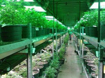 קנאביס רפואי - קנאביס כצמח מרפא נחשב לאחד מצמחי המרפא הבריאים ביותר לגוף האדם
