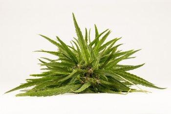שמן קנאבוס - שמן המופק מצמח הקנאביס בעל סגולות רפואות חשובות ביותר