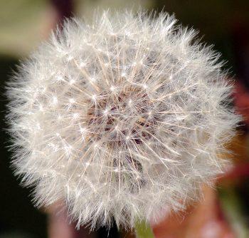 צמח שן הארי הוא צמח בעל סגולות רפואיות - שמן שורש שן ארי מנקה את הכבד