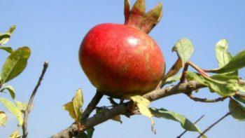 זרעי רימון - שמן זרעי רימון ויטמין C, אשלגן, וחומצה פנטותנית (B5)