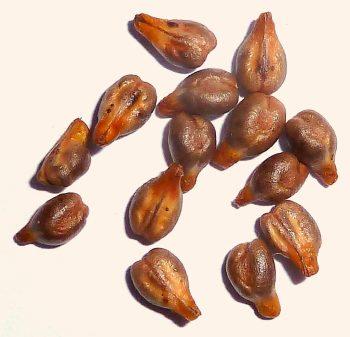 שמן זרעי ענבים - מגנה על תאים בריאים, תוקפת תאי סרטן