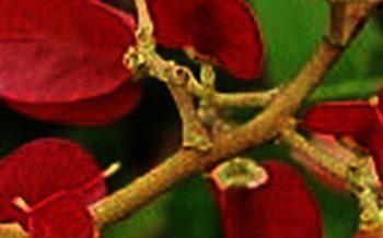שורש סיני גפן רעם אלוהים - מפעיל מנגנון מוות תאי ומונע גידולם של תאי סרטן