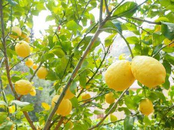 שמן לימון - לימון - סגולותיו הרפואיות של הלימון מלא וויטמין C ויטמין B6