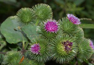 צמח הלפה הגדולה