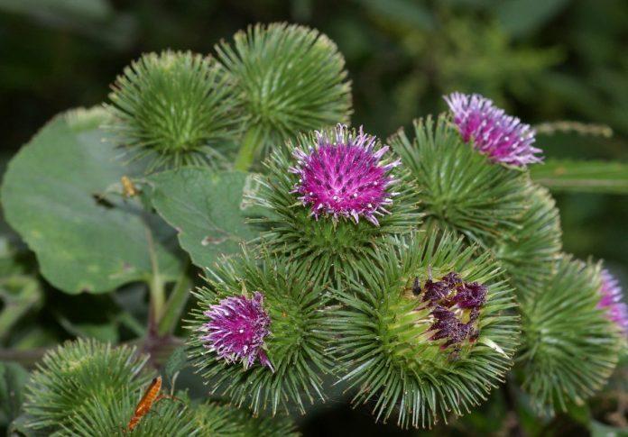 צמח הלפה הגדולה גדל באזורי צפון אסיה ובאירופה. הצמח היה ונותר בשימוש לטיפול במגוון תחלואות