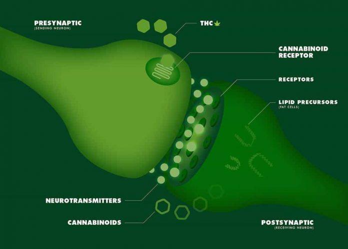 מערכת אנדוקנבינואידית - חידושים המערכת האנדוקנבינואידית טיפולים חדשניים