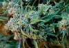 האנטומיה של הקנאביס צמח הקנאביס לזני אינדיקה עלים רחבים ולסאטיבה עלים דקים