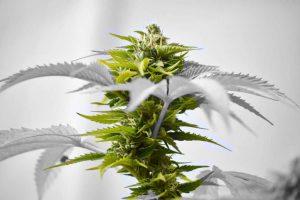 מריחואנה לטיפול בפצעי טראומה