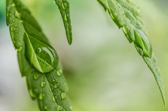 קנאביס און ליין - cannabis on line סירטונים מקצועיים קנאביס רפואי און ליין