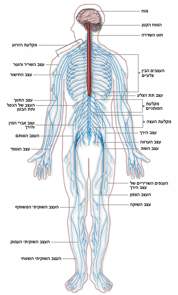 CBD ותאי עצב - CBD - סי בי די ותאי עצב התכונות הנוירופרוטקטיביות של CBD