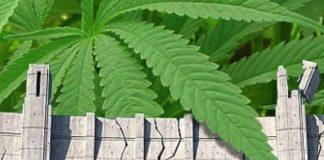 סי בי די – cbd|סי בי די – הסוד הגדול של צמח הקנאביס