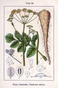 גזר לבן - סגולותיו של הגזר הלבן שמו המדעי pastinaca sativa