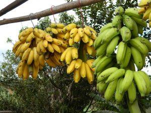 בננה - מורכב בעיקר מקרוטנואידים, תרכובות פנוליות ואמינים ביוגניים
