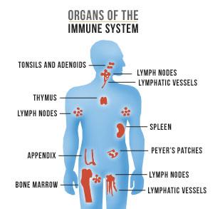 המערכת החיסונית - מהי מערכת החיסון של גוף האדם תאי המערכת החיסונית?