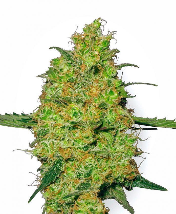מאסטר קוש - מסטר קוש - Master Kush 95% Indica אחד הפרחים החזקים בטבע