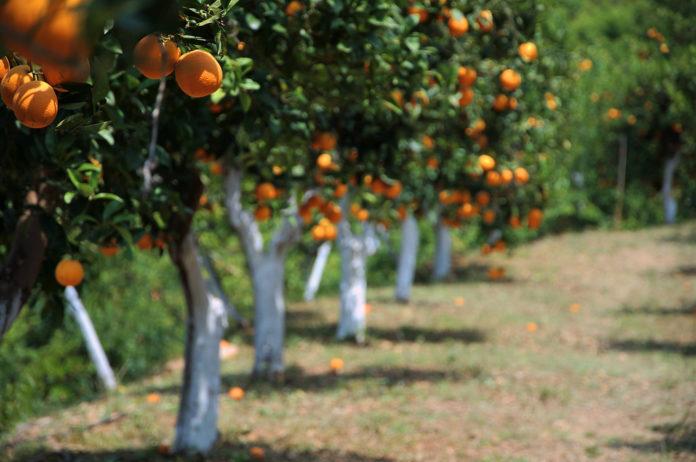 שמן המפ ותפוז - המפ ותפוזים - שמן המפ מעושר בשמן תפוז