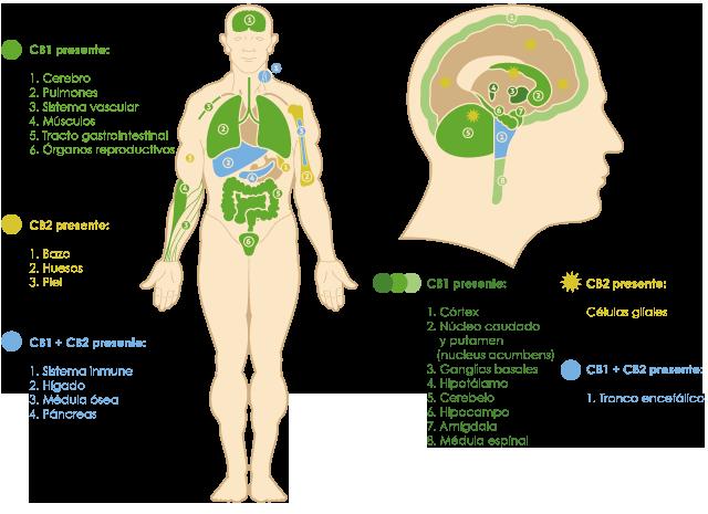 המערכת האנדוקנאבינואידית טור דה גראס – בעקבות המערכת האנדוקנבינואידית