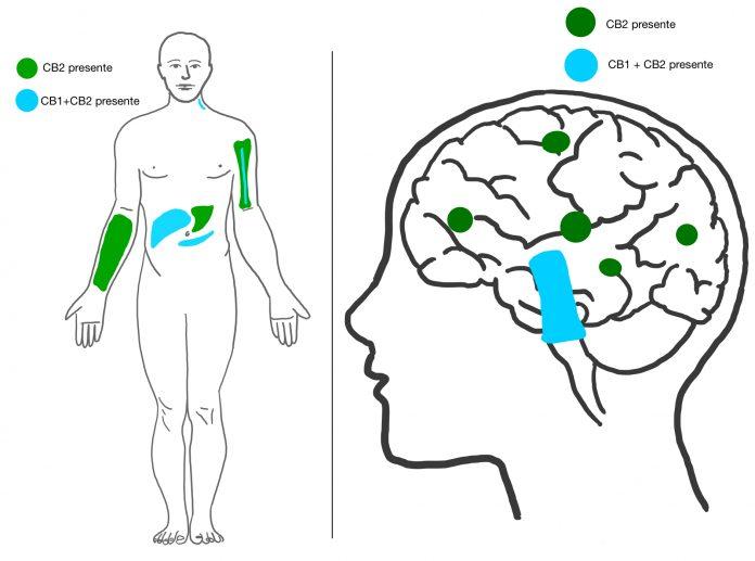 רצפטור CB1 - שמן קנאביס המערכת האנדוקנבינואידית CB1 receptor