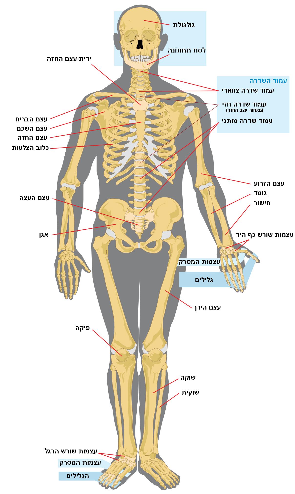THC לפציעות עמוד שדרה - שמן קנאביס טי אייץ סי ו סי בי די