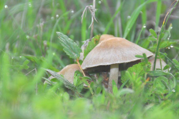 צמחים משני תודעה - שמן קנאביס צמחים משני תודעה הרחבת התודעה