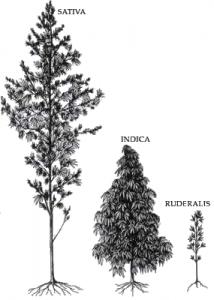 ההבדלים בין אינדיקה לסאטיבה