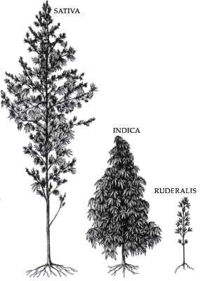 ההבדלים בין אינדיקה לסאטיבה - ההבדלים בין זני אינדיקה לסאטיבה שמן קנאביס