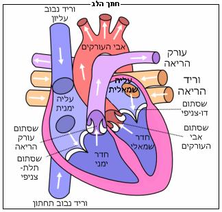 שמן קנאביס והלב שמן קנאביס ללב ולדם - שמן קנאביס ומערכת הדם - שמן קנאביס