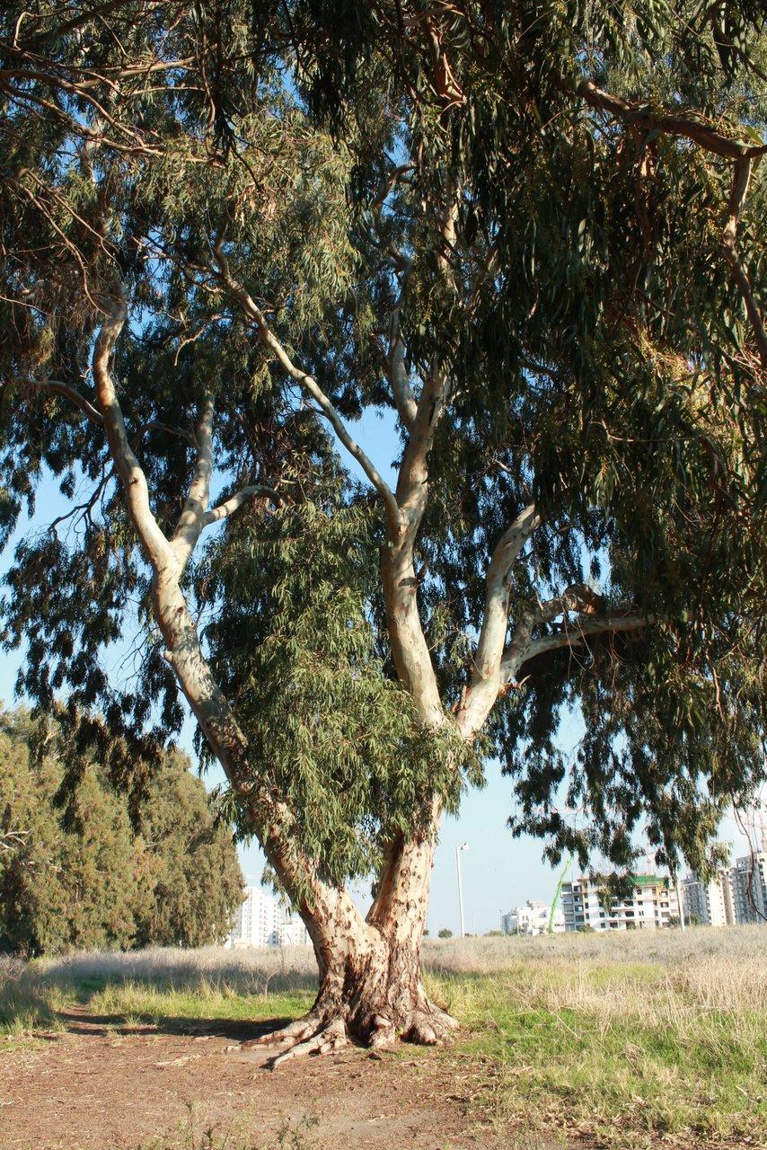 שמן אקליפטוס - הסוד הישן לסגולות מאריכות חיים שמן אקליפטוס - שמן קנאביס
