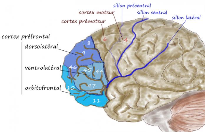 קנאביס נגד פגיעות נירולוגיות - קנאביס לטיפול בעצבי הגולגולת והמח