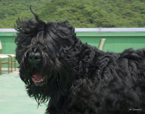 שמן קנאביס לכלבים