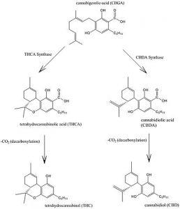 איך THC נולד ? - שמן קנאביס איך מולקולת THCA הופכת למולקולת THC