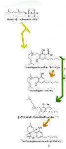 איך מולקולת THCA הופכת למולקולת THC
