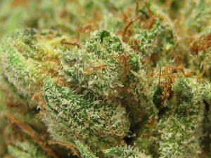 כוש - זן כוש הוא המקור לזני האינדיקה - שמן קנאביס אינדיקה רפואית