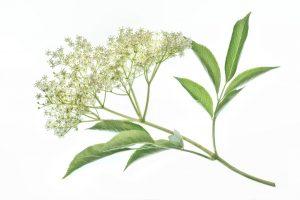 שמן סמבוק שחור - סמבוק שחור Sambucus nigra - שמן קנאביס