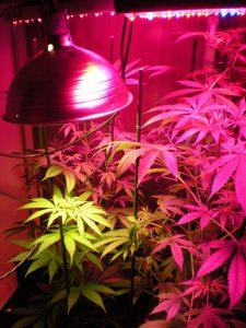 תאורה לגידול ביתי - שמן קנאביס תאורה לגידול פנים - תאורה לגידול ביתי