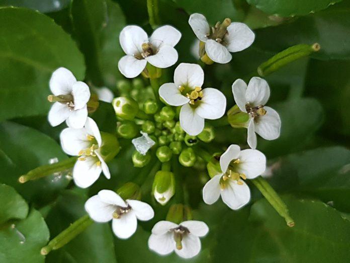 גרגיר הנחלים - שמן קנאביס Rorippa nasturtium-aquaticum