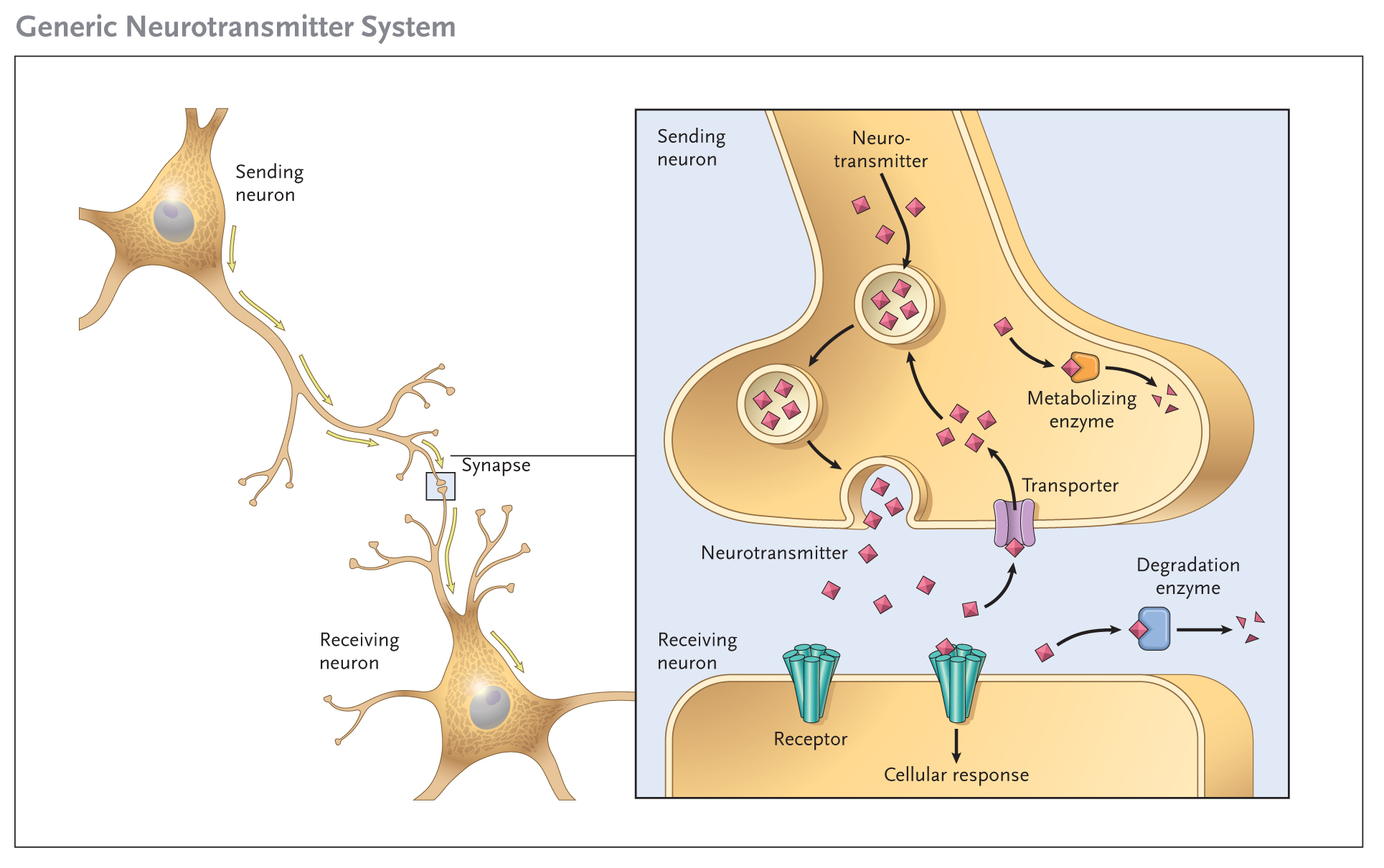 המדריך לקולטני קנבינואידים בגוף האדם