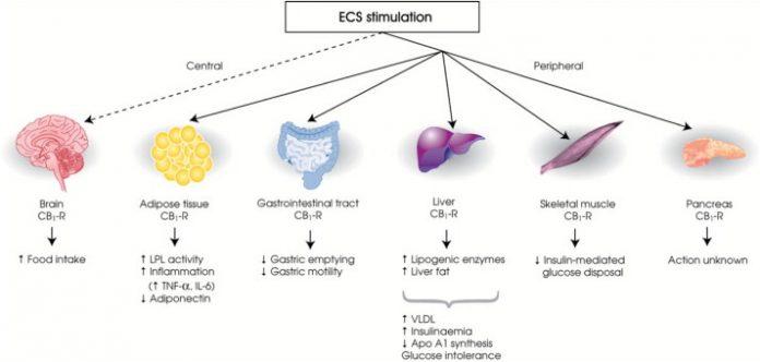 קולטן CB3 - שמן קנאביס CB1 ו- CB2 ו- CB3 קולטנים בגופינו