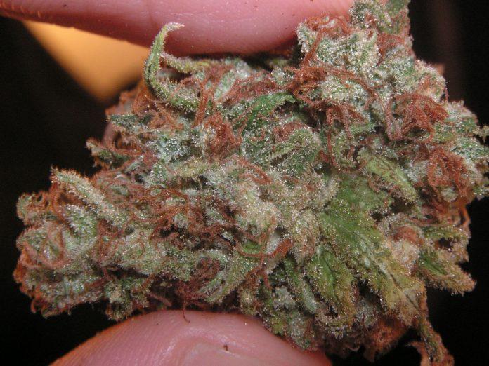 סקאנק סגול - שמן קנאביס זהו זן עם אחוז THC ואחוזי טרפנים גבוהים