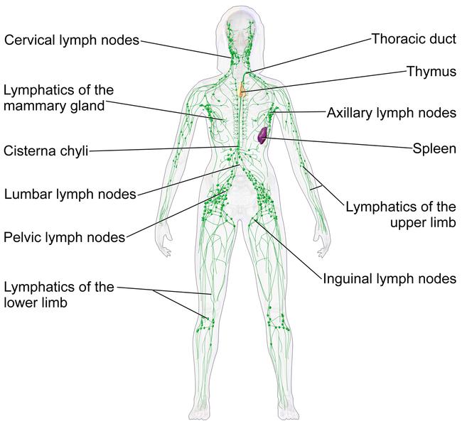 מערכת הלימפה וקנאביס - שמן קנאביס ומערכת החיסון בגוף האדם