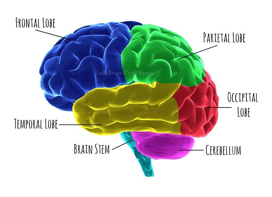 המוח מנהל את הגוף