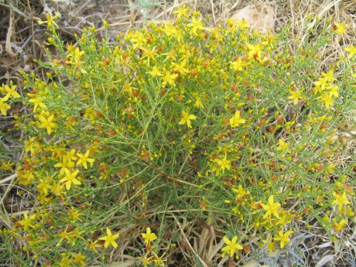 היפריקום - צמח היפריקום סגולותיו הרפואיות - שמן קנאביס